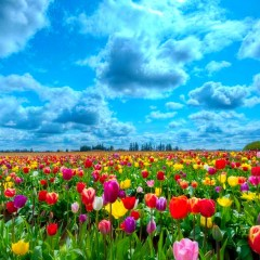 field-of-tulips-305440